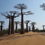 The Avenue or Alley of the Baobabs is a prominent group of baobab trees lining the dirt road between Morondava and Belo sur Tsiribihina in the Menabe region in western Madagascar. Its striking landscape draws travelers from around the world, making it one of the most visited locations in the region. It has been a center of local conservation efforts, and was granted temporary protected status in July 2007 by the Ministry of Environment, Water and Forests, the first step toward making it Madagascar's first natural monument.